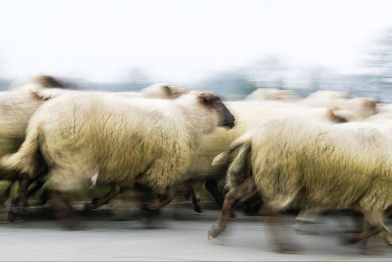 Lopende schapen