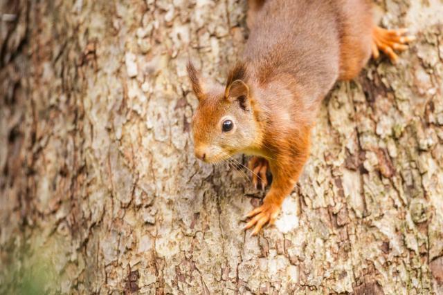 Een eekhoorn schiet als een rosse flits door het beeld.