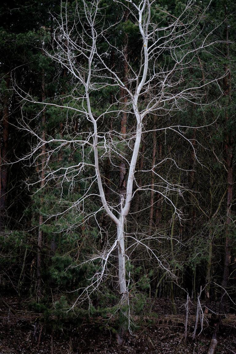 Witte boom als geest in een donker bos