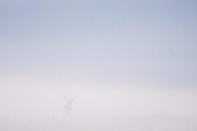 Mannelijk edelhert in de mist