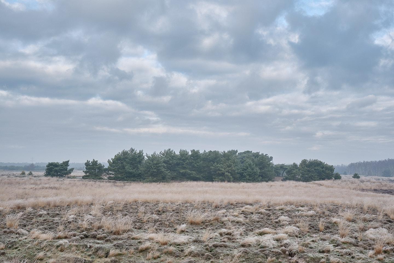 Dennenbosje op de Boshoverheide