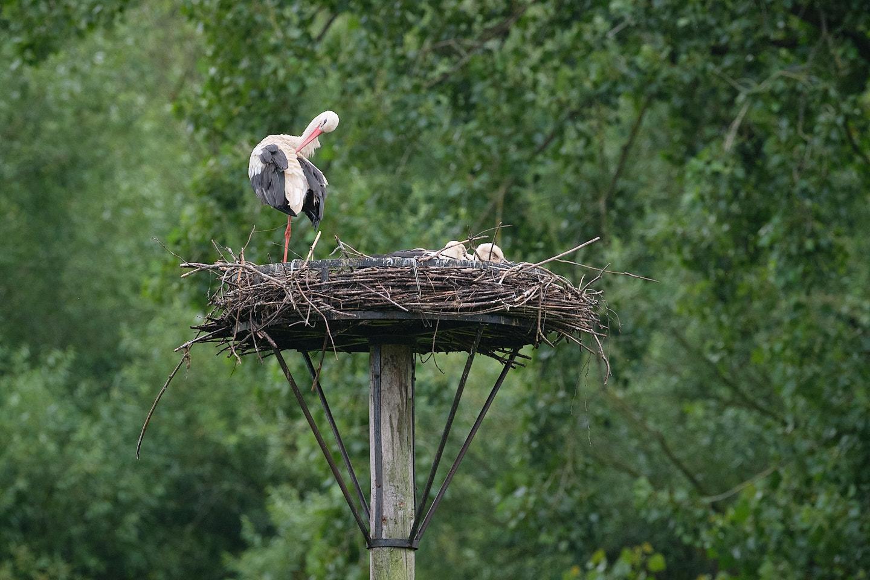Een ooievaar poetst zijn verenkleed op het nest.