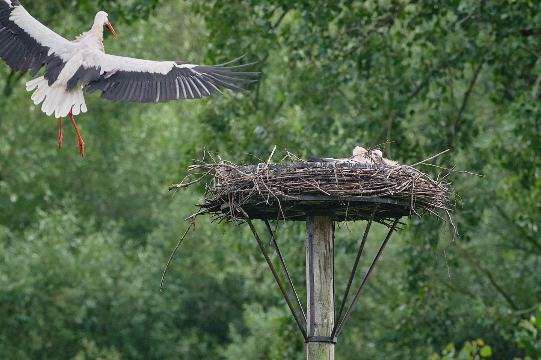 Een ooievaar vliegt naar het nest toe.
