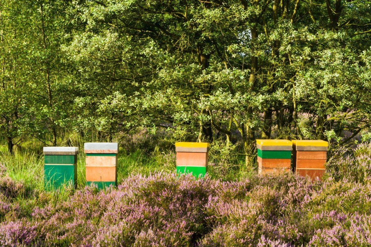 Bijenkasten in bloeiende heide.